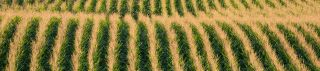 Acres and acres of growing crops in rows